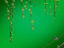 柳条麻雀背景的《翠绿》PPT模板下载