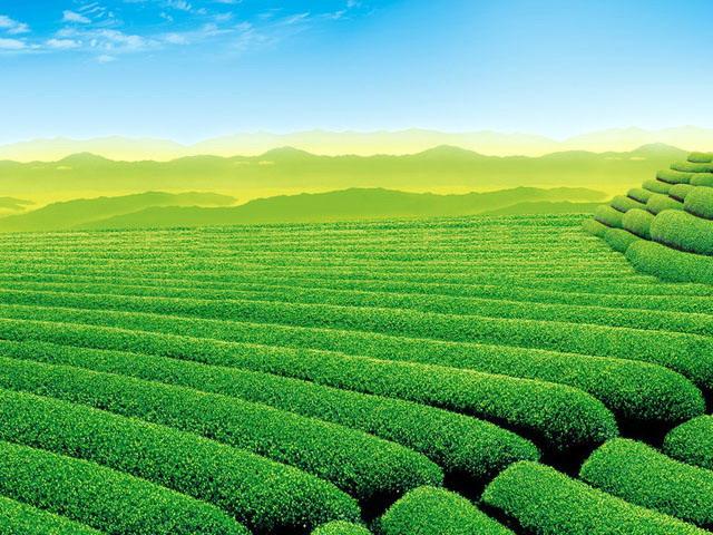 清新自然的茶园幻灯片背景图片