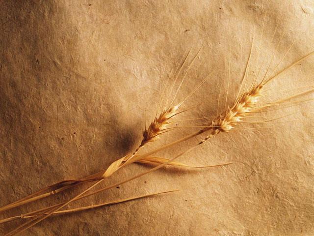第一ppt ppt背景 植物背景图片 金色麦穗powerpoint背景图片  素材