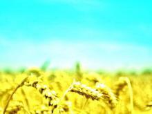 天空下的小麦PPT背景图片