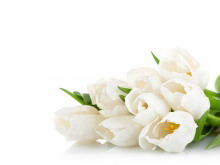 两张白色郁金香PowerPoint背景图片下载