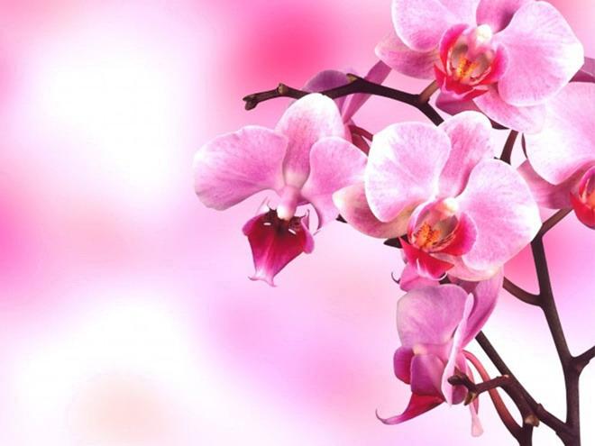一组粉色烂漫的鲜花幻灯片背景图片下载