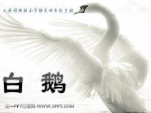 《白鹅》PPT课件下载3