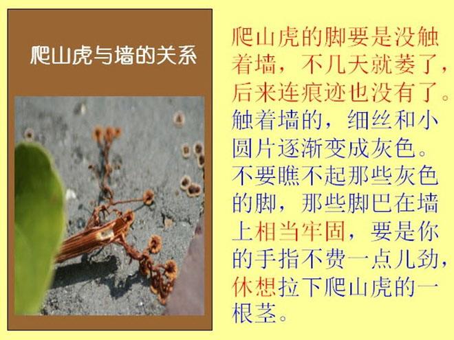 《爬山虎的脚》Flash动画课件下载 爬山虎刚长出来的叶子是嫩红的,不几天叶子长大,就变成嫩绿的。爬山虎的嫩叶,不大引人注意,引人注意的是长大了的叶子。那此叶子绿得那么新鲜,看着非常舒服。叶尖一顺儿朝下,在墙上铺得那么均匀,没有重叠起来的,也不留一点儿空隙。一阵风拂过,一墙的叶子就漾起波纹,好看得很。 以前,我只知道这种植物叫爬山虎,可不知道它怎么能爬。今年,我注意了,原来爬山虎是有脚的。爬山虎的脚长在茎上。茎上长叶柄的地方,反面伸出枝状的六七根细丝,每根细丝像蜗牛的触角。细丝跟新叶子一样,也是嫩红的。