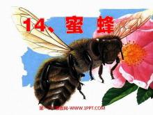 《蜜蜂》PPT教学课件下载6