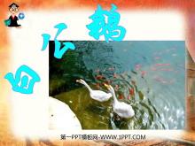 《白公鹅》PPT课件下载5