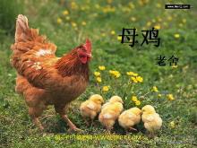 《母鸡》PPT课件下载3