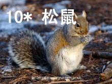 《松鼠》PPT课件下载6