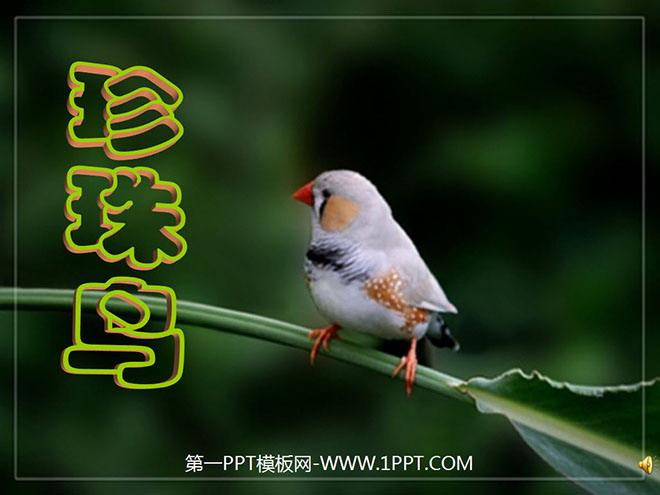 《珍珠鸟》PPT课件下载6