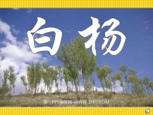 《白杨》PPT课件5