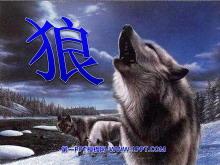 《狼》PPT课件3