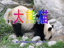 《大熊猫》PPT课件4