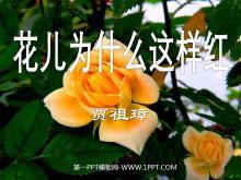 《花儿为什么这样红》PPT课件4
