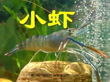 《小虾》PPT课件5