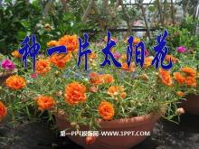 《种一片太阳花》PPT课件2