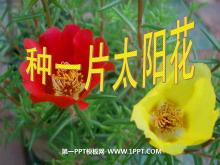 《种一片太阳花》PPT课件3