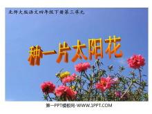 《种一片太阳花》PPT课件4