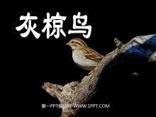 《灰椋鸟》PPT课件4