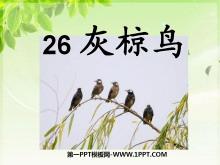 《灰椋鸟》PPT课件5