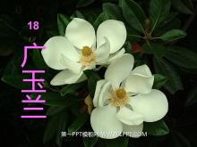 《广玉兰》PPT课件3