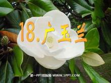 《广玉兰》PPT课件5