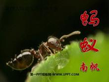 《蚂蚁》PPT课件