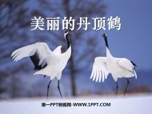 《美丽的丹顶鹤》PPT课件3
