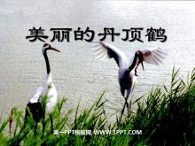 《美丽的丹顶鹤》PPT课件5