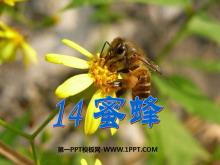 《蜜蜂》PPT课件2