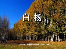 《白杨》PPT课件6