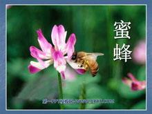 《蜜蜂》PPT课件