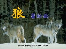 《狼》PPT课件6
