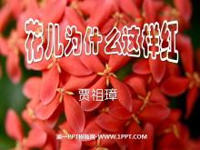 《花儿为什么这样红》PPT课件6