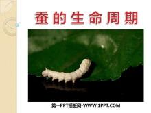 《蚕的生命周期》动物的生命周期PPT课件3