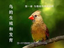 《鸟的生殖和发育》生物的生殖和发育PPT课件6