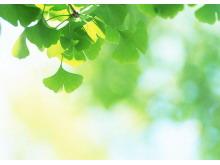 绿色银杏叶植物PPT背景图片