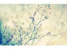 凌乱美丽的樱花树枝PPT背景图片