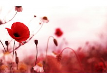 红色罂粟花PPT背景图片