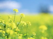 黄色油菜花PPT背景图片