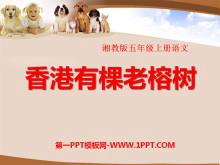《香港有棵老榕树》PPT课件
