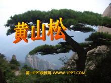 《黄山松》PPT课件5