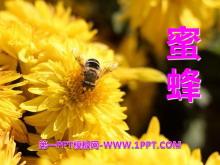 《蜜蜂》PPT课件7