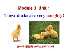 《These ducks are very naughty!》PPT课件