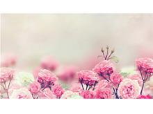 粉色蔷薇花幻灯片背景图片