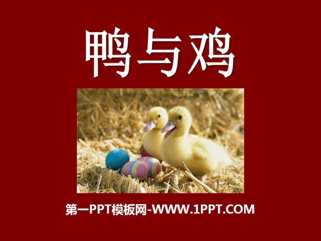 《鸭与鸡》家养小动物PPT课件2 观察鸭毛与鸡毛有什么不同? 将鸡毛、鸭毛放浸入水中取出观察 小资料 鸭子长期生活在水中,它的身体有很多适应水中生活的特点,如尾部有一对很发达的尾脂腺,尾脂腺能产生一种含油脂的物质.当鸭子从水里爬上岸后,我们常常会看到它用嘴往尾巴背面的尾脂腺上啄,又往周身的羽毛上擦,这是鸭子在梳理湿了的羽毛,除掉水,同时涂上一层油,使羽毛保持不沾水的特点.