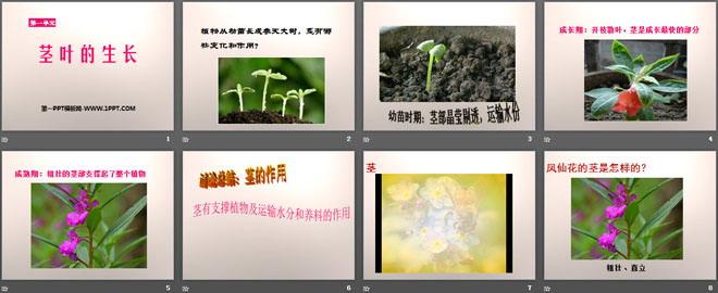 《茎叶的生长》PPT课件2