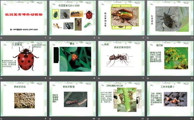 寻访校园里的动植物ppt课件  校园里常见的小动物 七星瓢虫 触角是