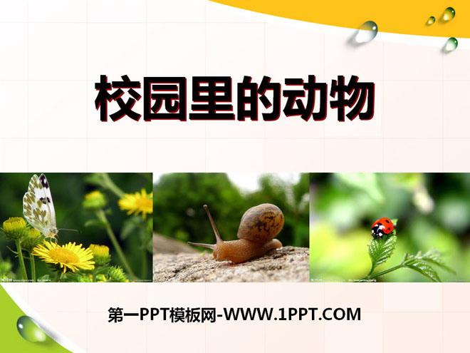 """《校园里的动物》和动物交朋友PPT课件3 仔细观察蜗牛,看它有什么特点? 蜗牛腹部上有扁平的足、尾,头部上长着一前一后两对像天线一样的触角,前面的小,后面的大,后面的一对触角上长着一对眼睛,背上驮着一个螺旋形的贝壳。 蜗牛是怎样爬行的? 蜗牛的肚子下的扁平的足实际上是一条条横纹,这些横纹像水波纹一样向后波动着,蜗牛就靠着横纹的波动,慢慢爬行。蜗牛的足里面有个叫""""足腺""""的小东西,能分泌一种粘液帮助它爬行。 蜗牛吃什么? 蜗牛通常栖息在温暖而阴湿的环境中: 主食各种蔬菜、杂草和瓜果皮"""