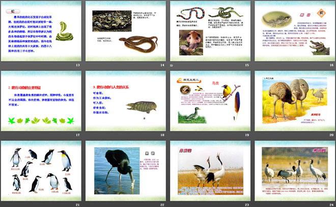 《动物的主要类群》PPT课件下载 第一部分内容:情景导入 大家认真观察,请说出它们是什么动物?它们共同的特征是什么? 学习目标 1.认识爬行动物、鸟类和哺乳动物的常见种类,掌握它们的特征。 2.通过学习不同的脊椎动物类群,理解脊椎动物从水生到陆生的进化。体会动物种类的多样性.