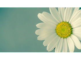 唯美清新白色小花PPT背景图片